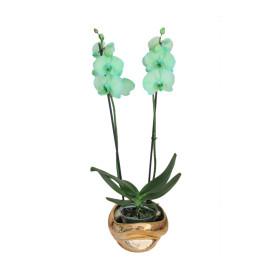 !!!!falenopsis_zlatna_zelena