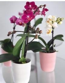 mini orhidea