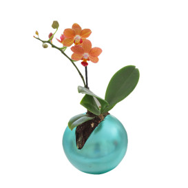 !!!!mini_orhidea_portokalova