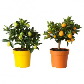 citrus-potted-plant__0212619_PE366704_S5