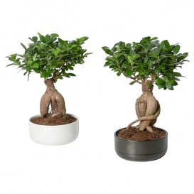 ficus-microcarpa-ginseng-potted-plant-with-pot-bonsai-assorted-colours__0804137_PE769078_S5