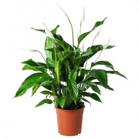 spathiphyllum-potted-plant-peace-lily_