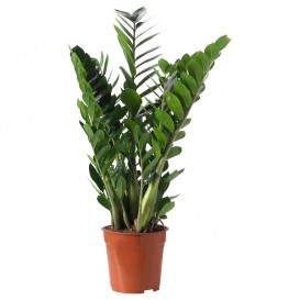 zamioculcas-potted-plant__0364400_PE547594_S5